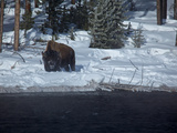 A Bison Standing in Deep Snow in Yellowstone National Park