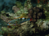 A Colorful Wrasse Swimming in a Reef