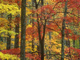 Maple (Acer Sp) Trees in Autumn  Great Smoky Mountains National Park  Tennessee