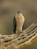 Cooper's Hawk (Accipiter Cooperii) on Saguaro Husk  Green Valley  Arizona