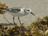 Sanderling  Calidris Alba  Foraging Among Sargassum Weed for Food
