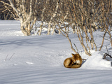Red Fox (Vulpes Vulpes) Sleeping  Kamchatka  Russia