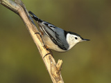 White-Breasted Nuthatch (Sitta Carolinensis) Long Island  New York