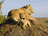 African Lion (Panthera Leo) Cub Playing with its Mother&#39;s Tail  Masai Mara Nat&#39;l Reserve  Kenya