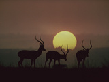 Impala (Aepyceros Melampus) Bucks at Sunset  Kenya (Digital Composite)