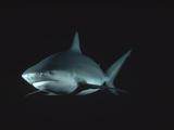 Bull Shark or Lake Nicaragua Shark (Carcharhinus Leucas) Underwater Portrait  North America