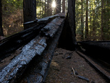 Wildfire Damage to Redwood Trees in Montgomery Woods