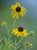 Blackeyed Susan (Rudbeckia Hirta) Pair Blooming  North America