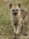 Spotted Hyena (Crocuta Crocuta) Portrait  Masai Mara Reserve  Kenya
