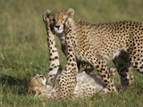 Cheetah (Acinonyx Jubatus) 7 to 9 Month Old Cubs Playing  Masai Mara Nat&#39;l Reserve  Kenya