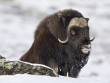 Muskox (Ovibos Moschatus) Showing Thick Insulating Coat  Norway