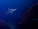 A Lone Scalloped Hammerhead Shark