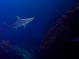 A Lone Scalloped Hammerhead Shark