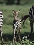 Burchell's Zebra (Equus Burchellii) Foal  Ngorongoro Conservation Area  Tanzania  East Africa