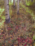 Aspen Tree Trunks and Leave Petals in Autumn