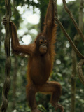A Rehabilitated Juvenile Orangutan  Pongo Pygmaeus  Hangs from Vines