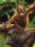 Orangutan (Pongo Pygmaeus) Female with Baby  Camp Leaky  Tanjung Puting Nat&#39;l Park  Indonesia