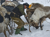 A Komi Reindeer Herder Saws Off an Antler before it Drops in Spring