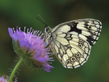 Marbled White (Melanargia Galathea) Butterfly on Flower  Switzerland