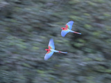 Pair of Green-Winged Macaws  Ara Chloropterus  in Flight