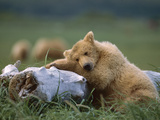 Grizzly Bear (Ursus Arctos Horribilis) Juvenile Sleeping on Driftwood  Katmai Nat'l Park  Alaska