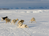 An Arctic Wolf Sees Just How Close He Can Get to Sled Dogs