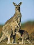 Eastern Grey Kangaroo (MacropusGiganteus) Joey and Mother  Wilson's Promontory Nat'lPark  Australia