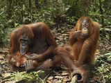 Orangutan (Pongo Pygmaeus) Females and Baby  Camp Leaky  Tanjung Puting Nat'l Park  Indonesia