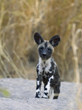 African Wild Dog (Lycaon Pictus) Six to Eight Week Old Pup  Okavango Delta  Botswana