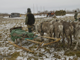 Komi Reindeer Herders Watch a Tractor Pull a Load of Hay for Cattle