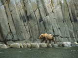 Alaskan Brown or Grizzly Bear (Ursus Arctos) Walking Along Shoreline  Katmai Nat&#39;l Park  Alaska
