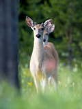 Young Male White-Tailed Deer in a Meadow with Summer Wildflowers