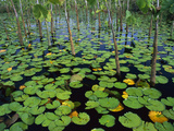 Water Lily (Nymphaea Sp) Pads and Other Aquatic Plants in Stream  Amazon  Brazil