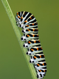 Oldworld Swallowtail (Papilio Machaon) Caterpillar on Stem  Europe