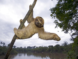 Brown-Throated Three-Toed Sloth (Bradypus Variegatus) Hanging in Tree  Amazon  Peru