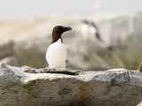A Razorbill Sitting on a Rock on Machias Seal Island