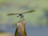 Dragonfly Perched on the End of a Browned Leaf