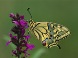 Swallowtail (Papilio Machaon) Butterfly  Switzerland