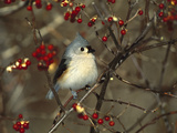 Tufted Titmouse (Parus Bicolor) Perching in Tree  Long Island  New York