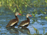 Black-Bellied Whistling Duck (Dendrocygna Autumnalis) Pair Wading  Rio Grand Valley  Texas