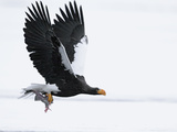 Steller's Sea Eagle (Haliaeetus Pelagicus) Flying with Fish in Claws  Kamchatka  Russia