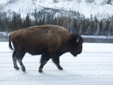A Bison Walking in the Snow in Yellowstone National Park