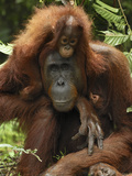Orangutan (Pongo Pygmaeus) Female with Baby  Camp Leaky  Tanjung Puting Nat'l Park  Indonesia