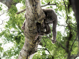 In Pursuit of Honey  a Chimpanzee Works to Smash Open a Beehive