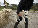 A Farmer with Sheep and Newborn Lamb