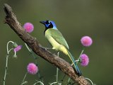 Green Jay (Cyanocorax Yncas) Perching  Rio Grande Valley  Texas