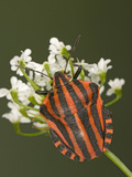 Red and Black Striped Stink Bug (Graphosoma Lineatum) Portrait  Heteroptera Suborder  Europe