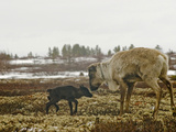 A Reindeer Cow with Her Newborn Calf on Tundra Lichens and Moss