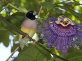 Endangered Lady Goudlian Finch  Erythrura Gouldiae  and Passion Flower