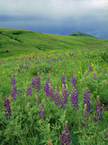 Tallcup Lupine (Lupinus Caudatus) with Spring Blooms on the Zumwalt Prairie  Oregon